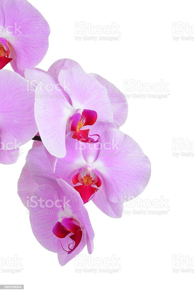 Pink orchid flower royaltyfri bildbanksbilder