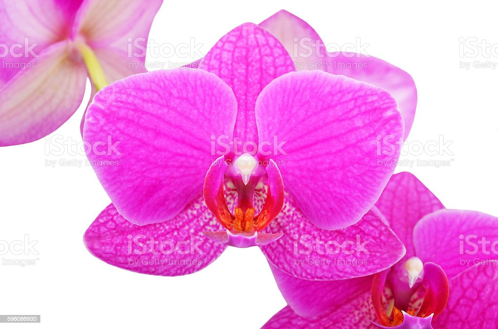 Pink orchid flower royalty-free stock photo
