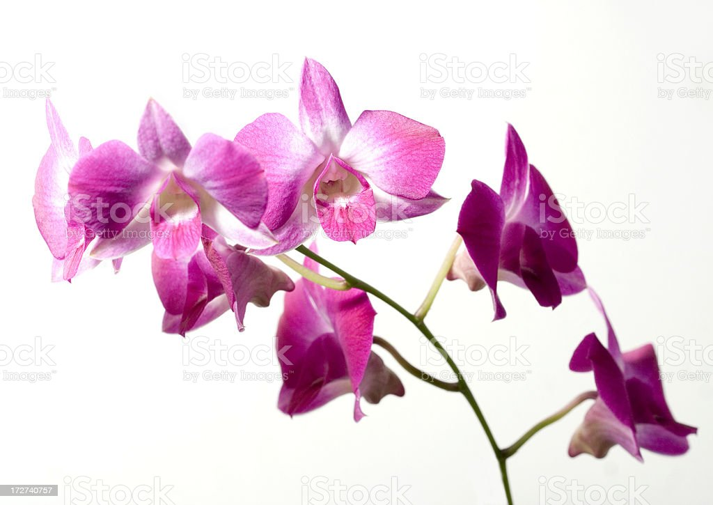 Pink orchid flowers close-up on white background stock photo