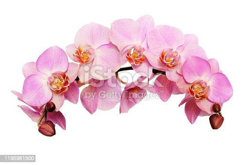 Pink orchid flowers in a waved floral arrangement isolated on white background