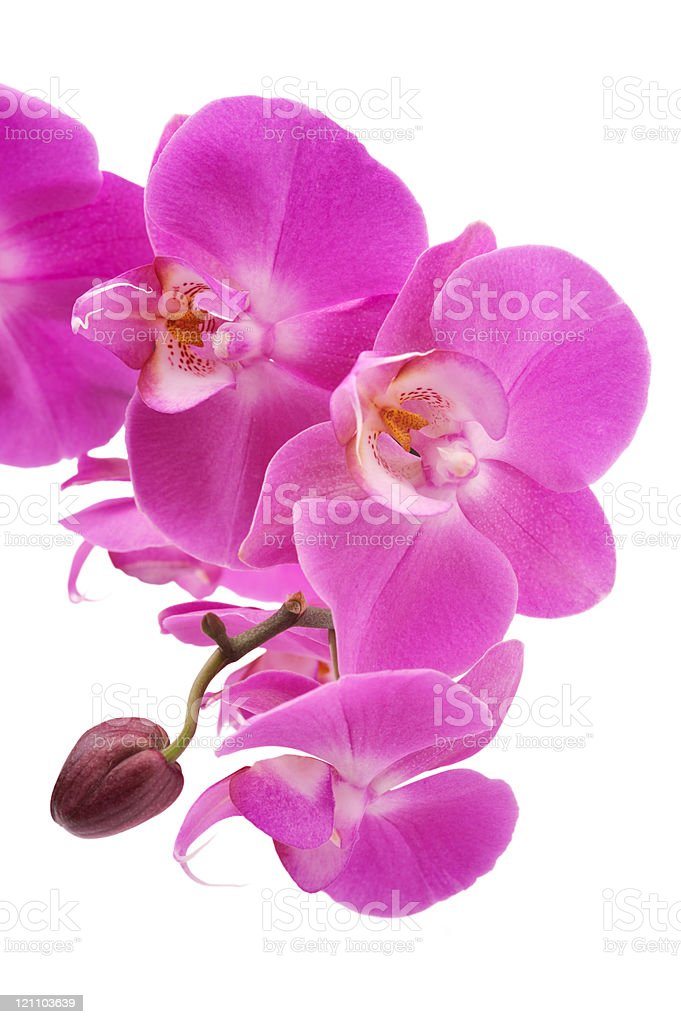 Pink orchid (Phalaenopsis) flowers, isolated, white background royalty-free stock photo