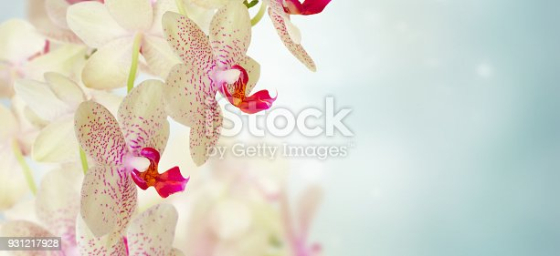 pink orchid flowers close up on defocused blue background banner