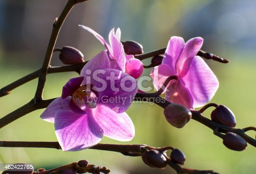 Pink Orchid flowers with bright background, Kolkata, India