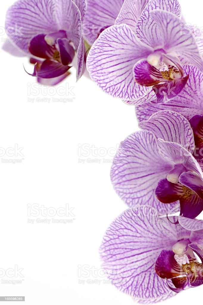 Pink Orchid Frame royalty-free stock photo