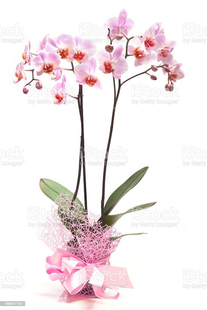 Rosa Orchidee in einem flowerpot auf weißem Hintergrund. – Foto