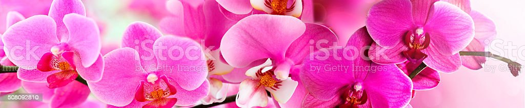 Pink Orchid in a panoramic image stock photo