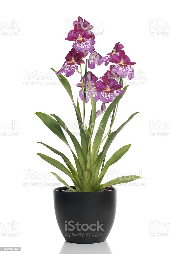 Pink orchid in a pot royalty-free stock photo