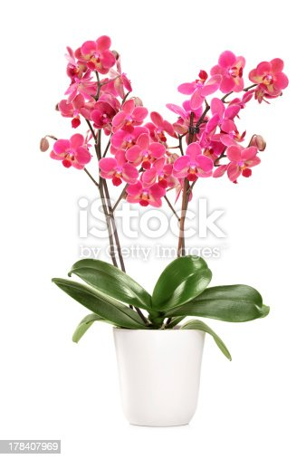 Pink orchid in a white pot with many flowers, isolated on white background