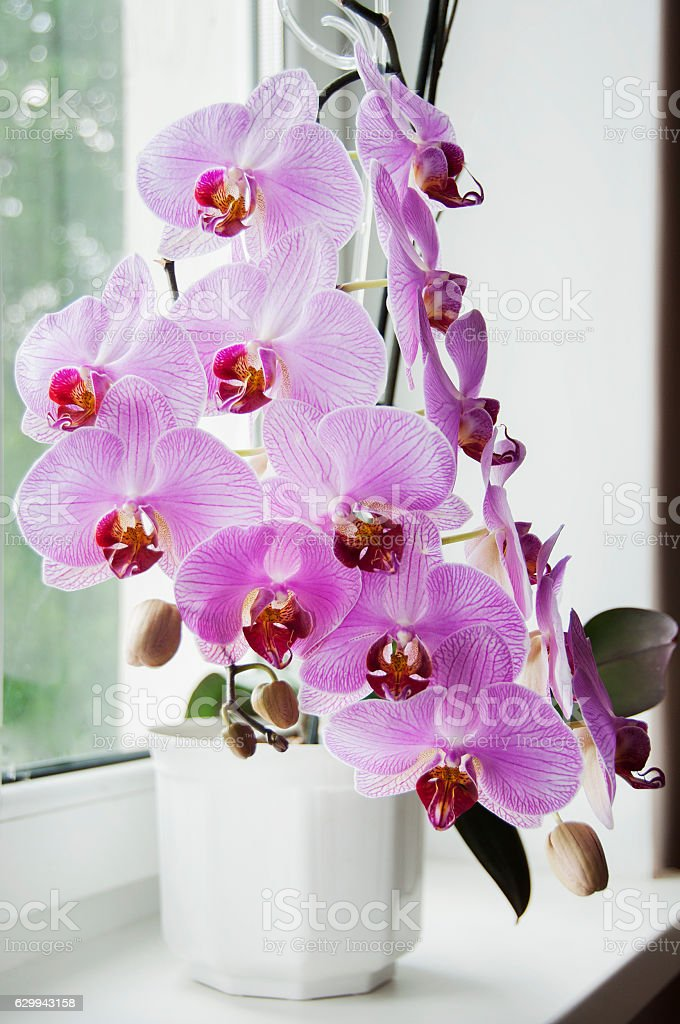 pink orchid in bloom stock photo