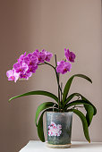 Orchid blooming at home. Pink Phalaenopsis in flower pot on a table