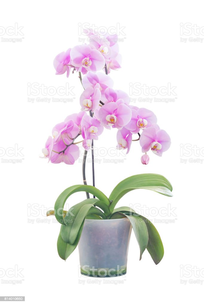 Pink orchid in flowerpot stock photo