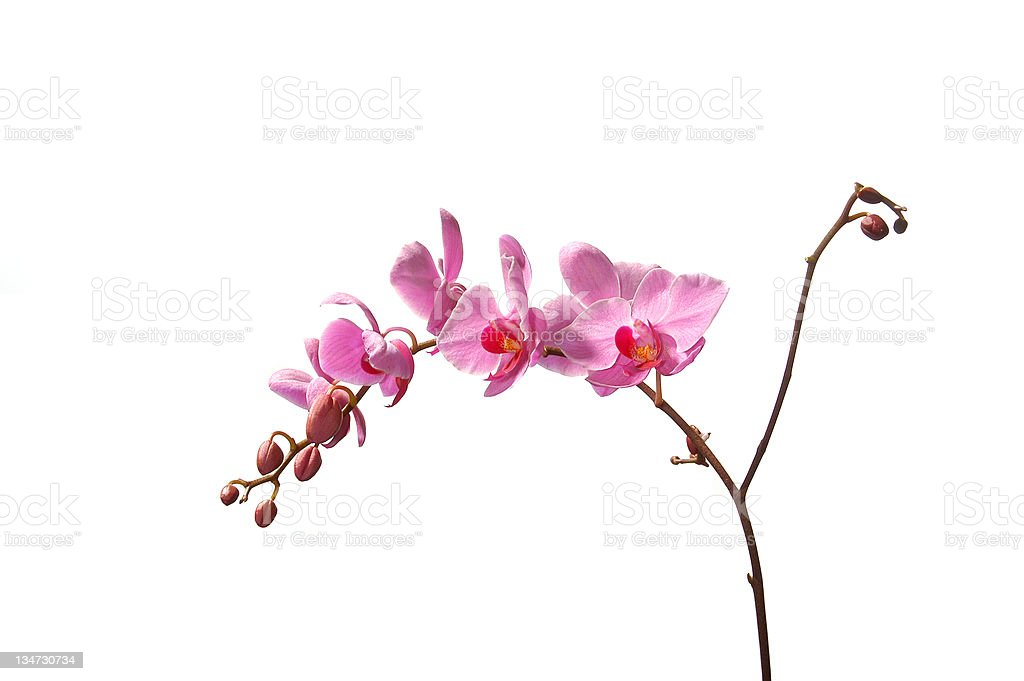 pink orchid isolated on white royalty-free stock photo
