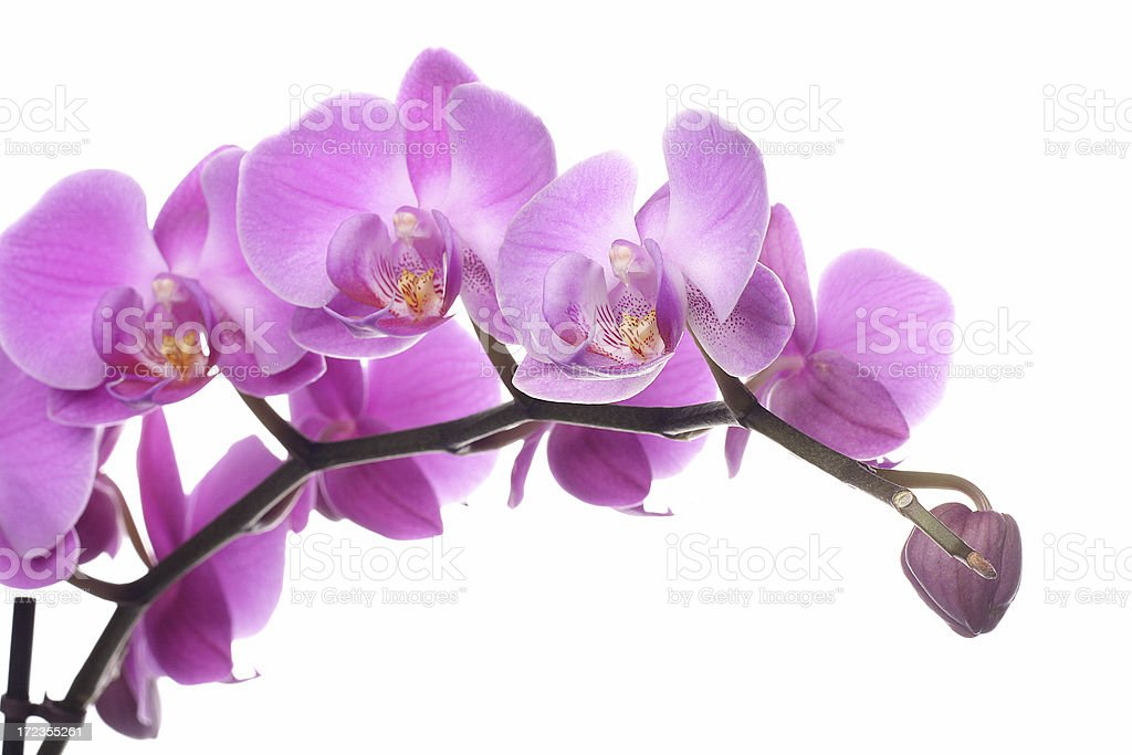 pink orchid isolated white royalty-free stock photo