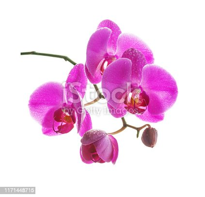 Beautiful pink orchid flowers covered with dew drops  isolated on a white background