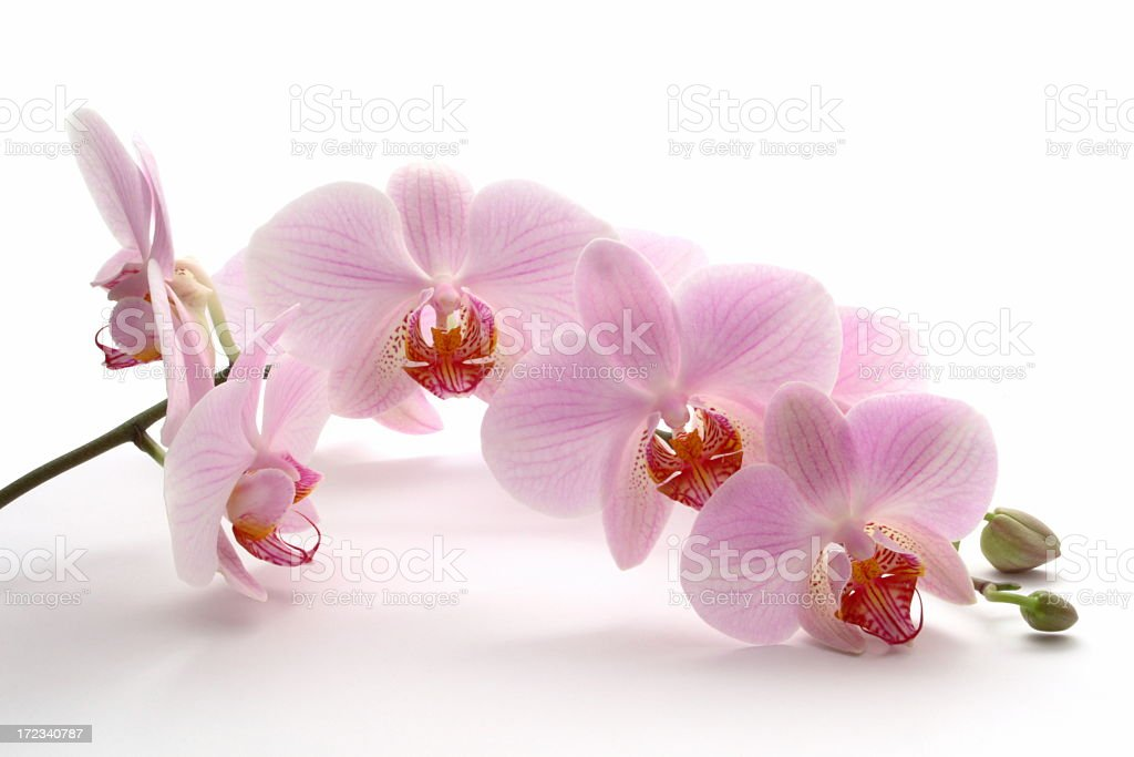 A pink orchid on a white background stock photo