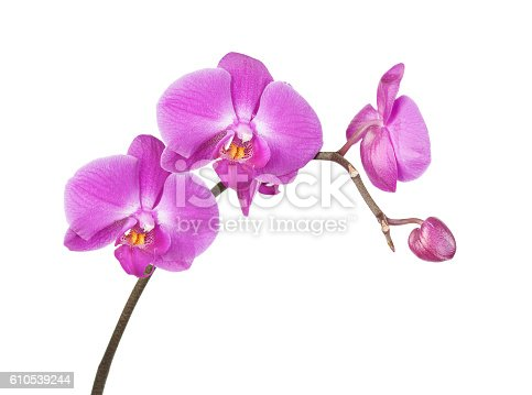 Beautiful pink orchid flowers close-up isolated on a white background