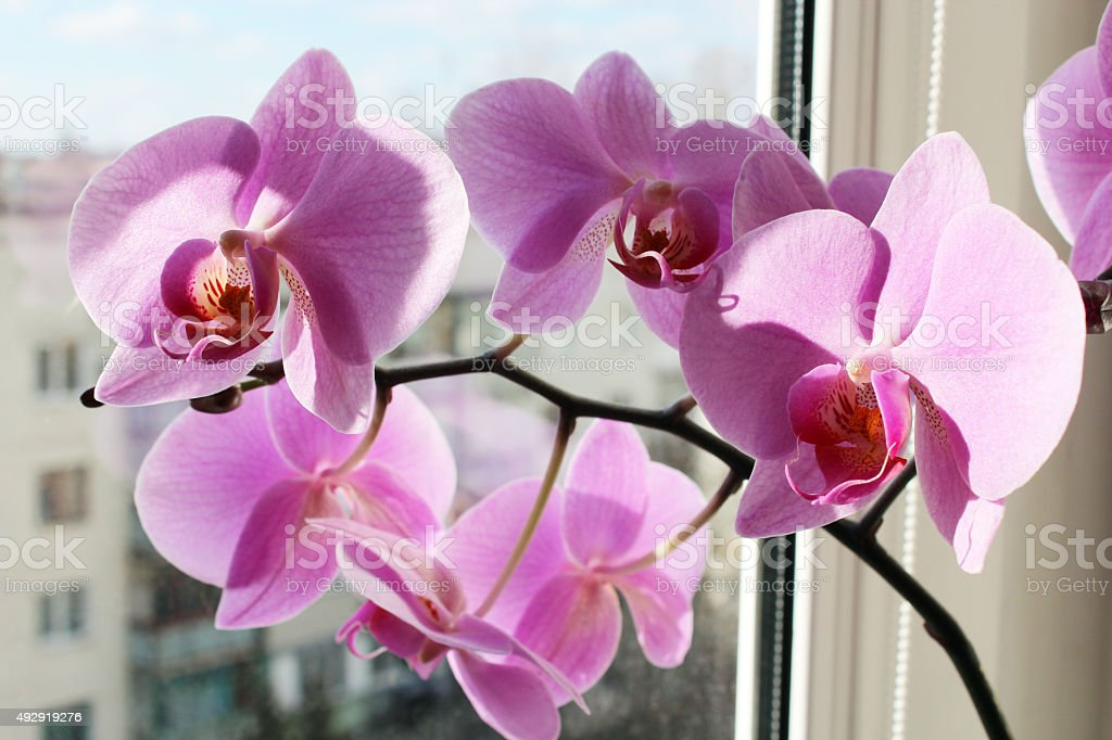 pink orchid on the window stock photo