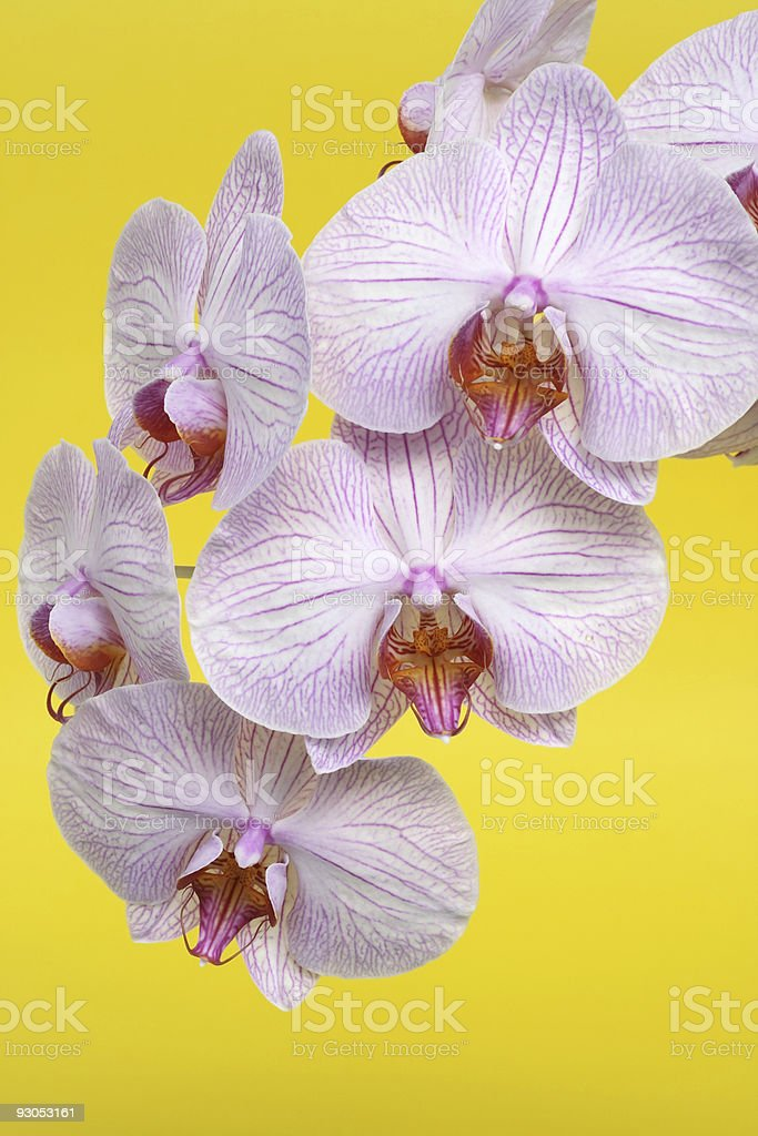 Pink Orchid On Yellow royalty-free stock photo