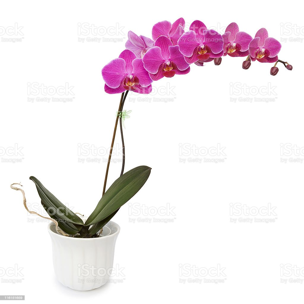 Pink Orchid royalty-free stock photo