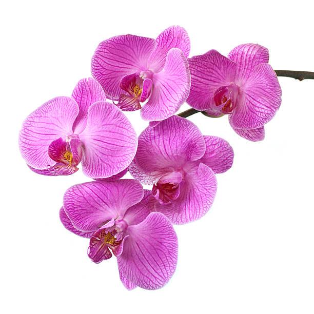 pink orchid - foderblad bildbanksfoton och bilder