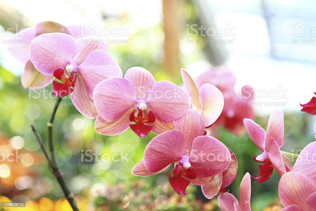 pink orchid (phalaenopsis) stock photo