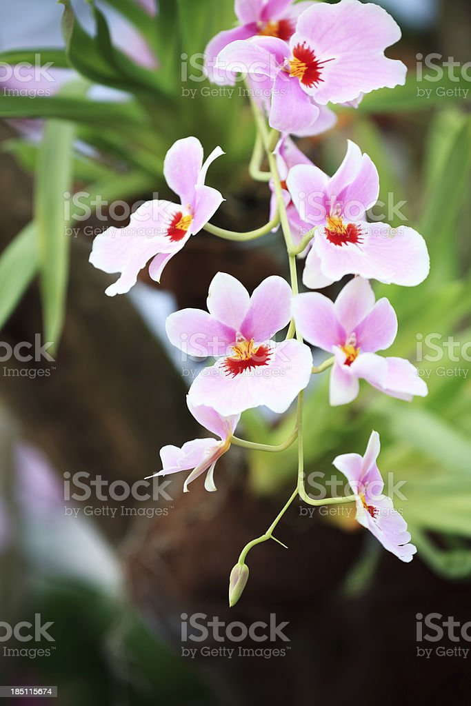 Pink Orchid stock photo