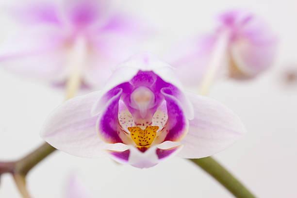 Rosa Orchidee – Foto