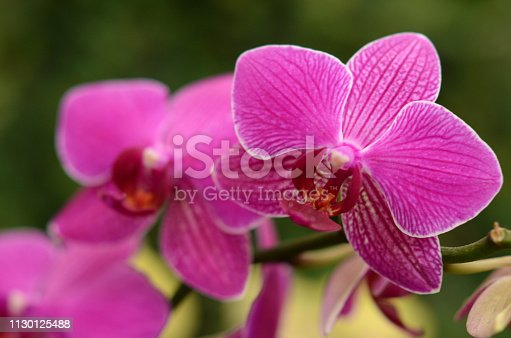 Pink Orchid Purple Striped Flowers in Tropical Garden Close-up Macro Photography Soft Selective focus