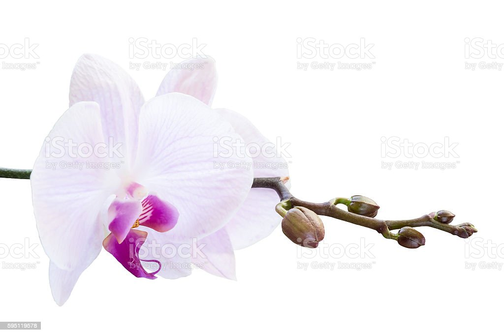 Pink orchid with buds on a branch on a white stock photo