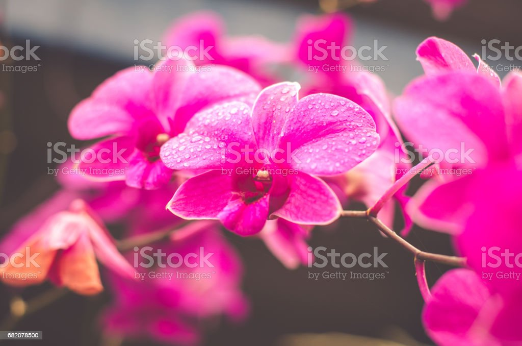 Pink orchids beautiful flowers stock photo