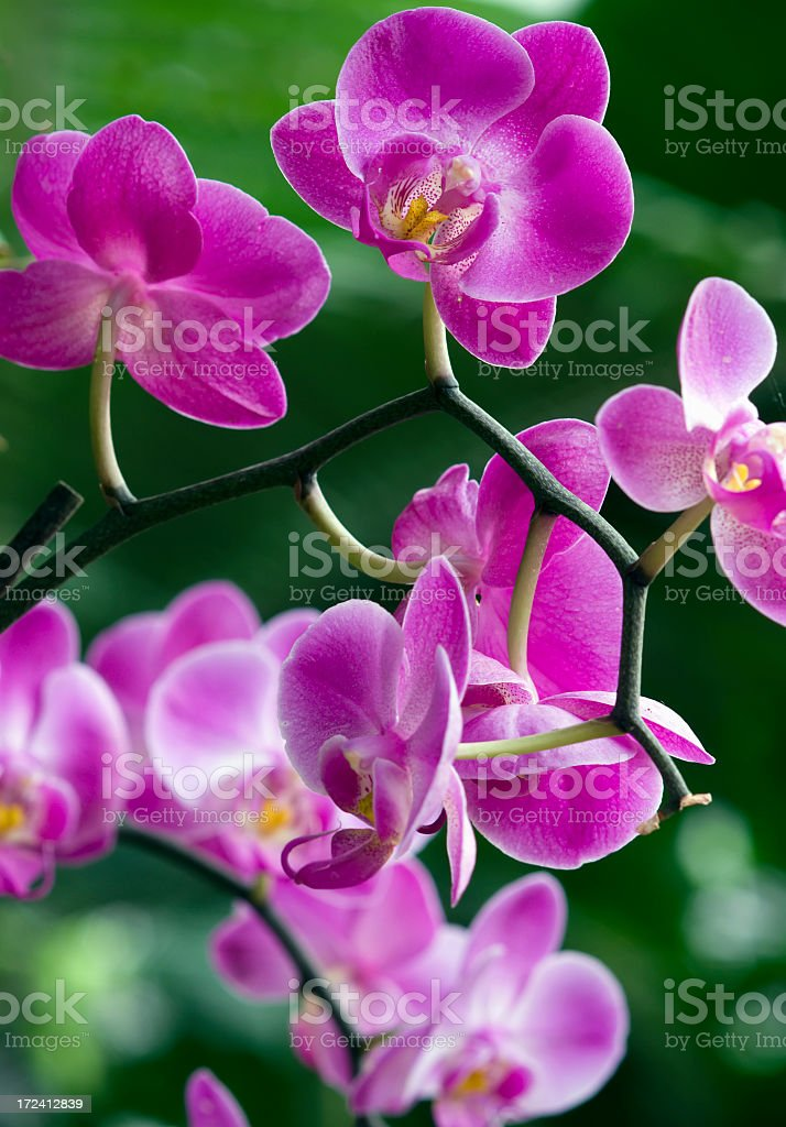 Pink orchids high resolution picture stock photo