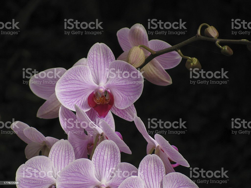 pink orchids on a black background royalty-free stock photo