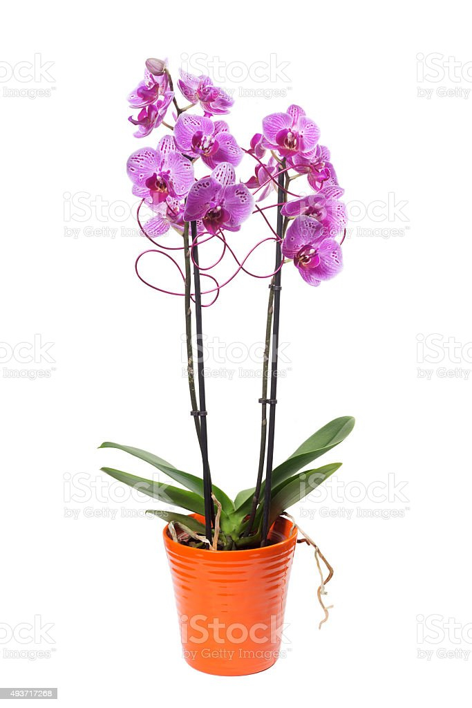 pink orchids phalaenopsis in flowerpot and decoration stock photo