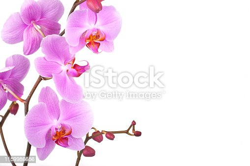 Pink orchids on white background with space for text.