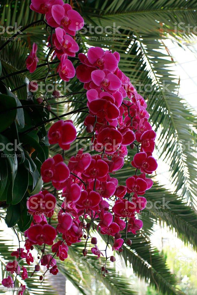 Rosa Orchideen  Lizenzfreies stock-foto