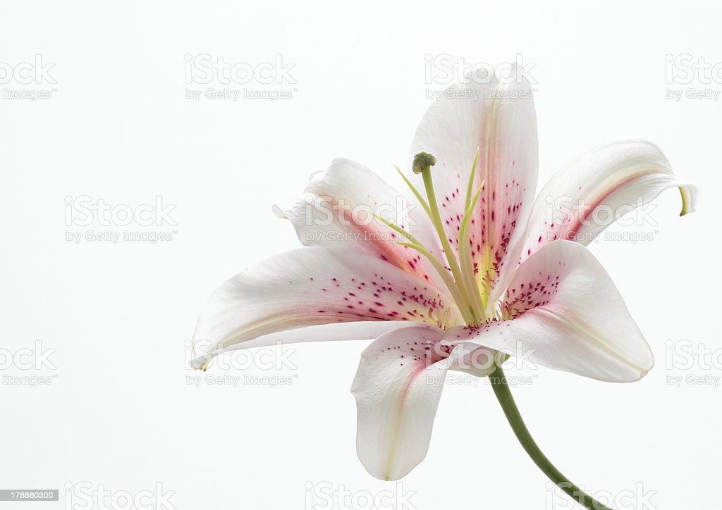 Pink orientalische Lilie – Foto