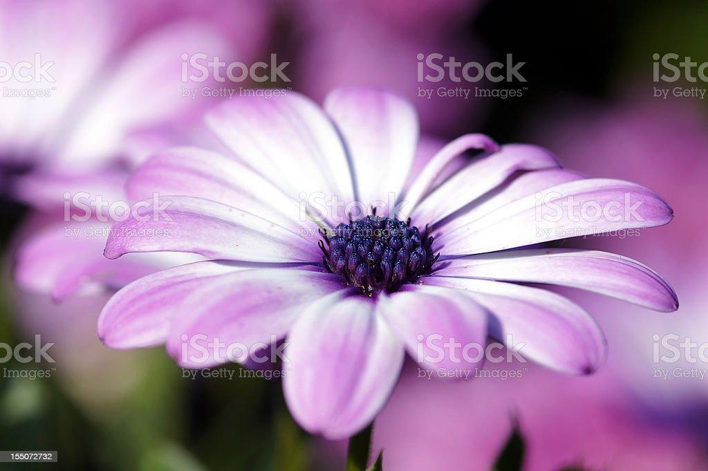 Pink Osteospermum ecklonis flower stock photo