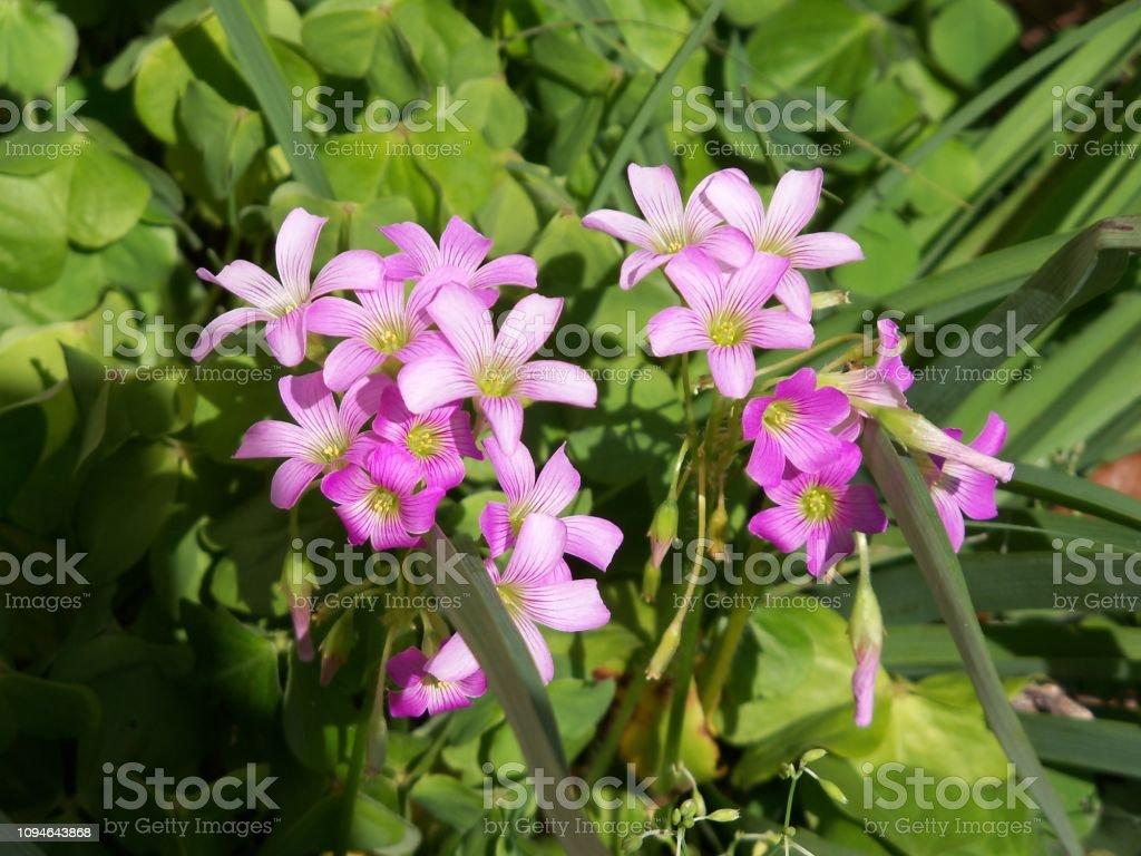 Pink Oxalis Wildflowers stock photo
