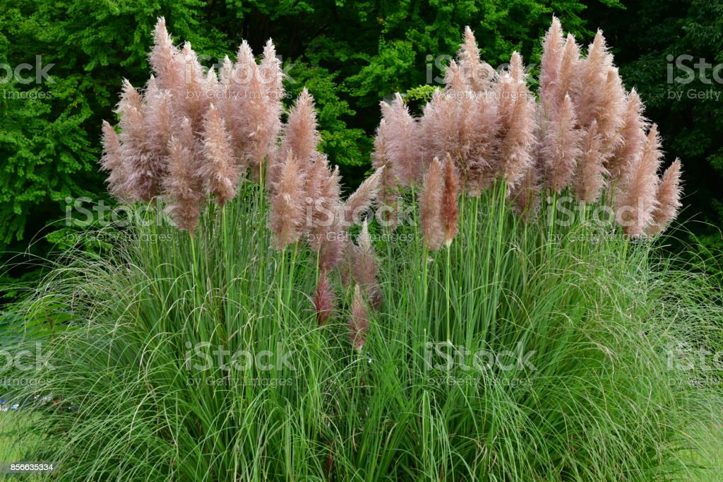 Grass Stock Selloana Cortaderia More Of Pictures Photoamp; Pink Pampas 0wm8nN