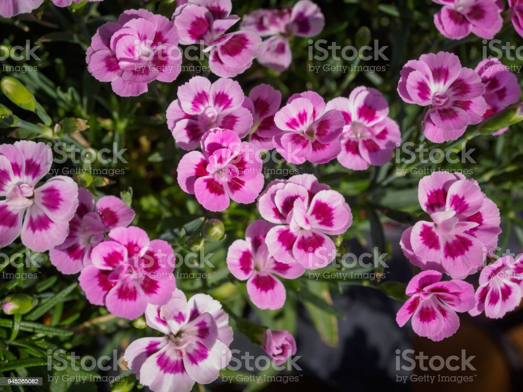 Pink Pansy Flowers With Blur Background Stock Photo More Pictures