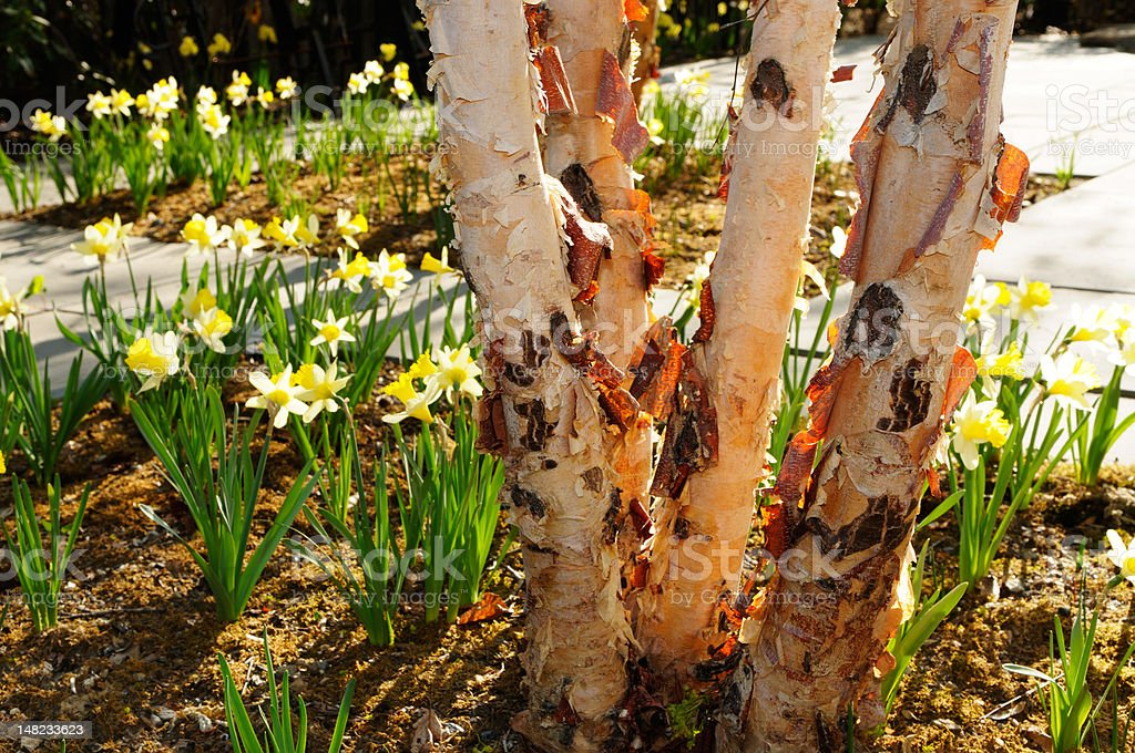 Pink Paper Birch and Daffodils stock photo