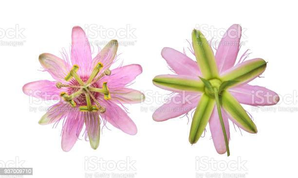 Pink passiflora passionflower nephrodes isolated on white background picture id937009710?b=1&k=6&m=937009710&s=612x612&h=waoxivooce8vpyoa1 tq yvhtpk0pchundagbfw3o8u=