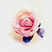istock Pink pastel rose watercolor painting illustration 1127910366