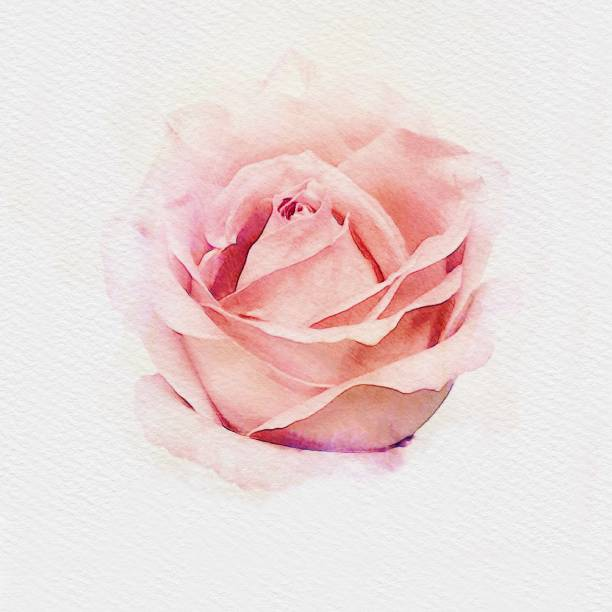 Pink pastel rose watercolor painting illustration picture id1127910397?b=1&k=6&m=1127910397&s=612x612&w=0&h=kwma2vi0p25z9g6gss4pchlkknqxnu3fbphow6rfyiq=
