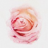 istock Pink pastel rose watercolor painting illustration 1127911045