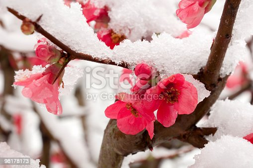 peach flower covered with snow