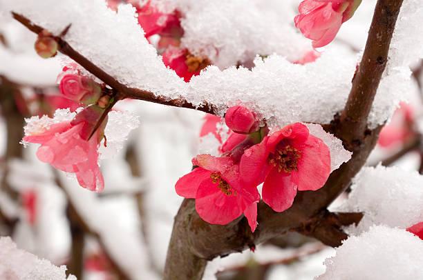 персиковый цветок - иней замёрзшая вода стоковые фото и изображения