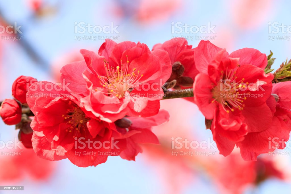 Pink Peach Blossom - March of Japan - royalty-free stock photo