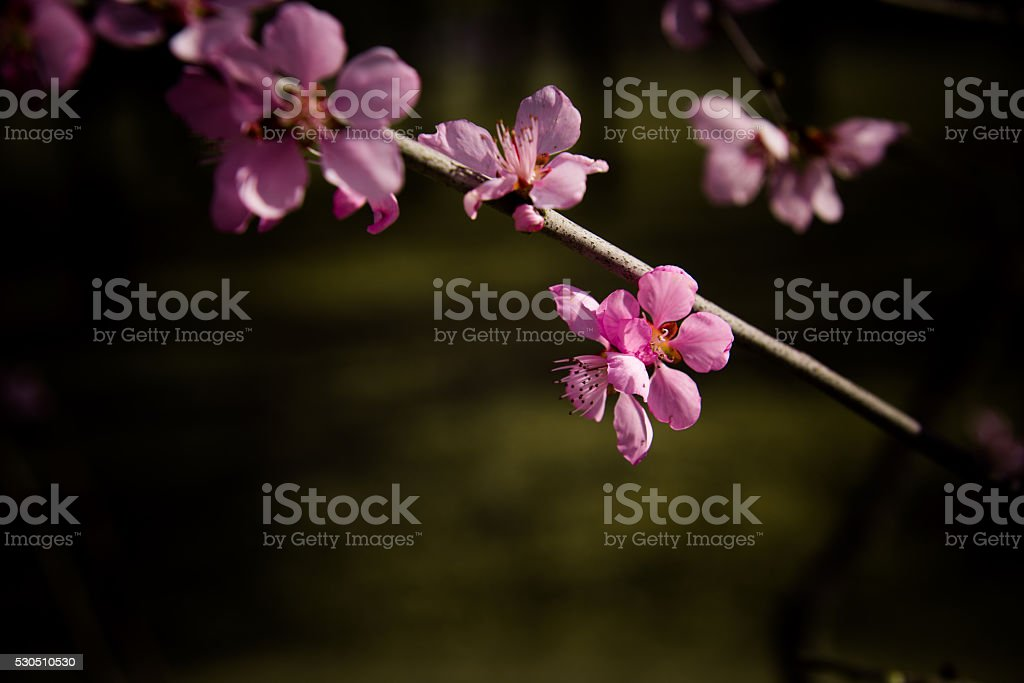 Pink peach blossom stock photo