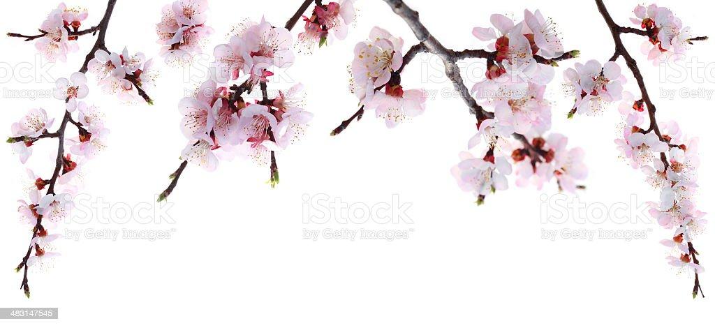 Pink Peach Blossoms (XXXL) royalty-free stock photo